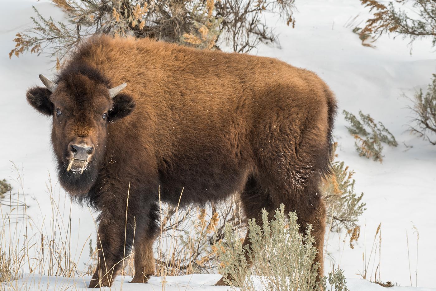 Young Buffalo